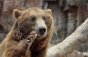 Лапа медведя – сакральный оберег, питающий духовную мощь и мудрость